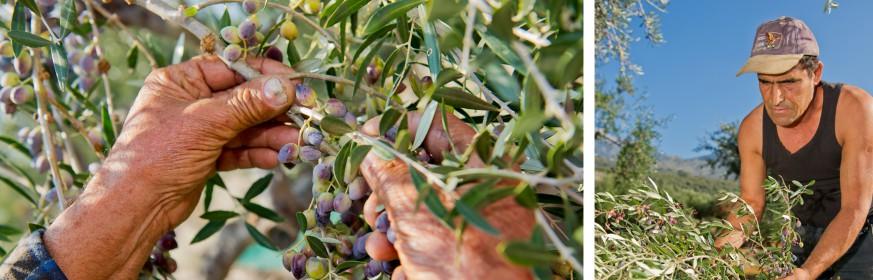 olivenkultur_neu
